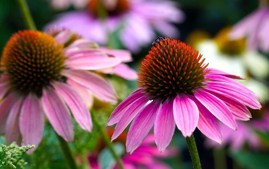 Echinacea: rimedio naturale per un Sistema immunitario forte